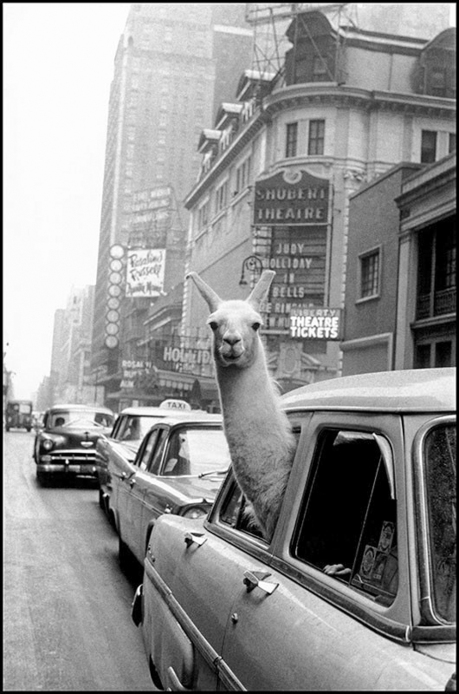 A Llama in Times Square NY 1957 - Igne Morath