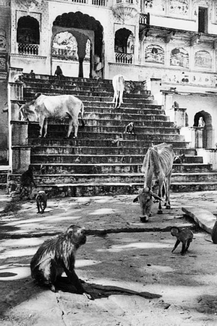 Alfred Eisenstaedt - Starving Cattle Jaipur India